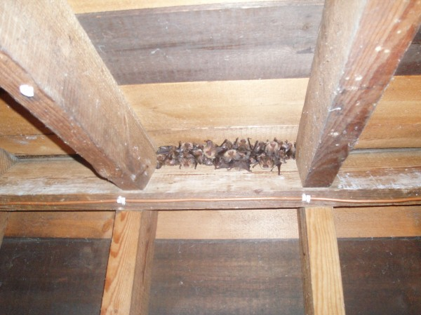 Brown long-eared bats - Tree Parts