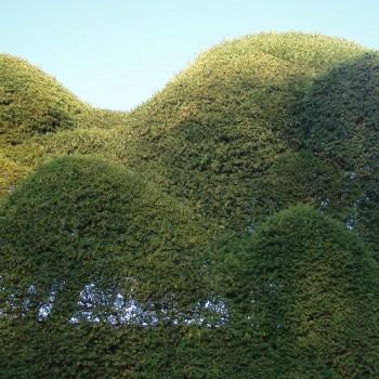 Cloud cut yew trees at Benham Valence - Tree Parts