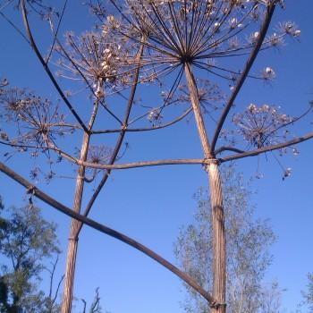 Himalayan Balsam - Tree Parts